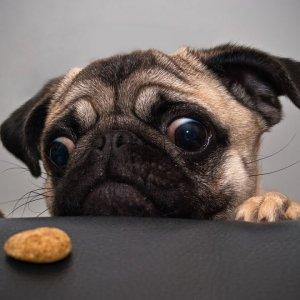 Chó Pug - Ưu Điểm Và Nhược Điểm