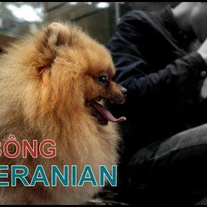 Phần 1: Chó POMERANIAN - Phốc Sóc - đáng yêu vô cùng/NhamTuatTV