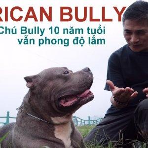 Giống chó AMERICAN BULLY - Gặp BIG BOY đã 10 tuổi mà vẫn Phong độ/AMERICAN BULLY/NhamTuatTV
